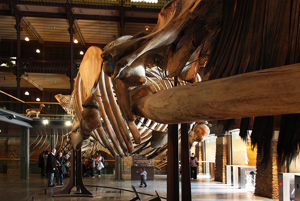 巨大なシロナガスクジラの全身骨格