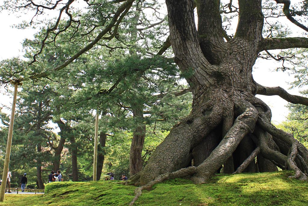 根が地上2mにまでせり上がった「根上松」