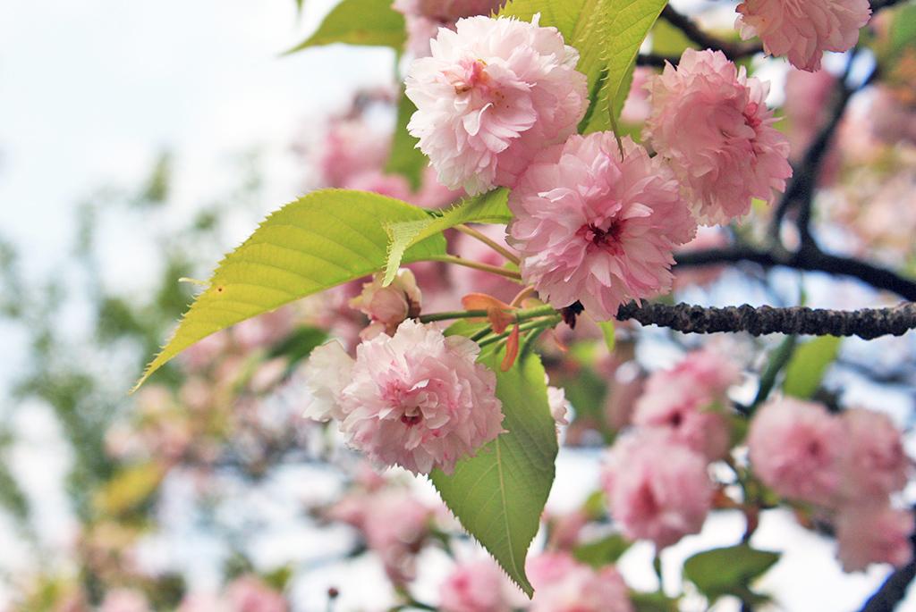 菊桜の花弁が日本で最も多い「兼六園菊桜」