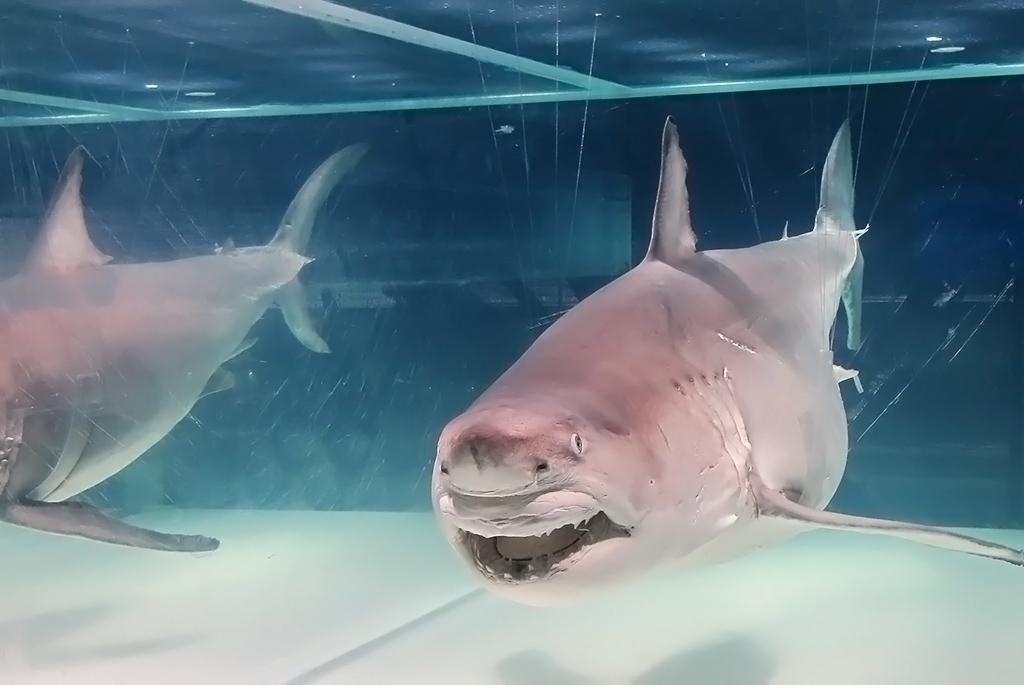ホホジロザメの全身液浸標本