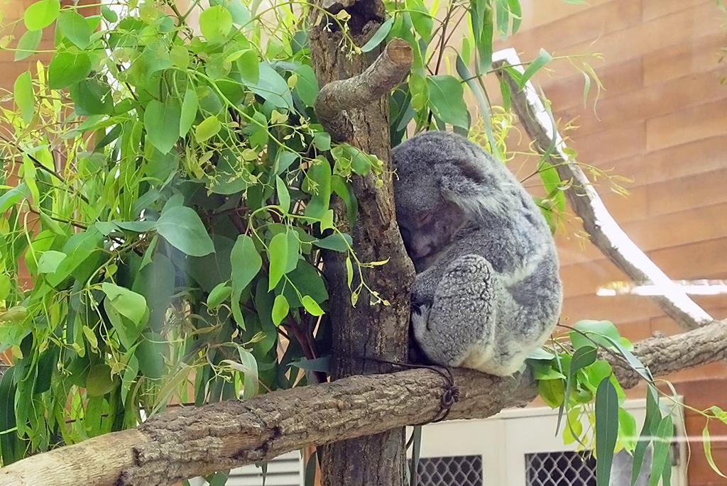 気持ち良さそうに寝ているコアラ