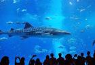 沖縄の美しい海をそのまま展示する「沖縄美ら海水族館」