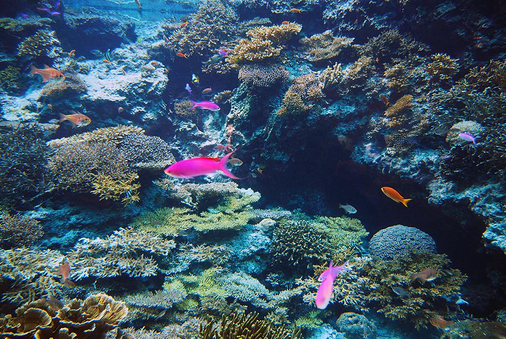 本部町の海に潜って参考にした美しいサンゴ