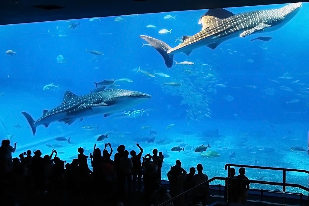 優雅に巨大水槽を泳ぐジンベエザメ